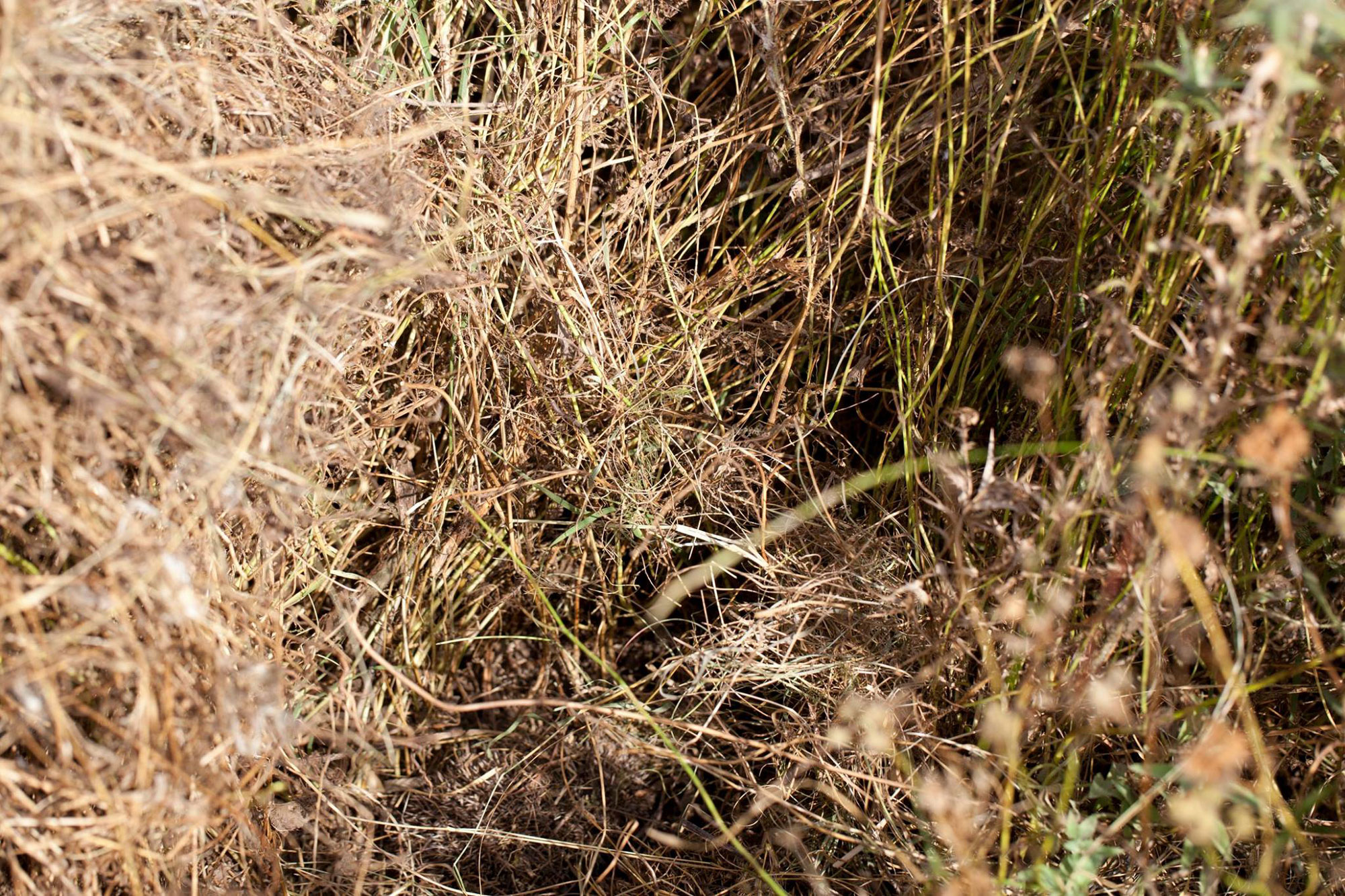 Arici camuflati in iarba