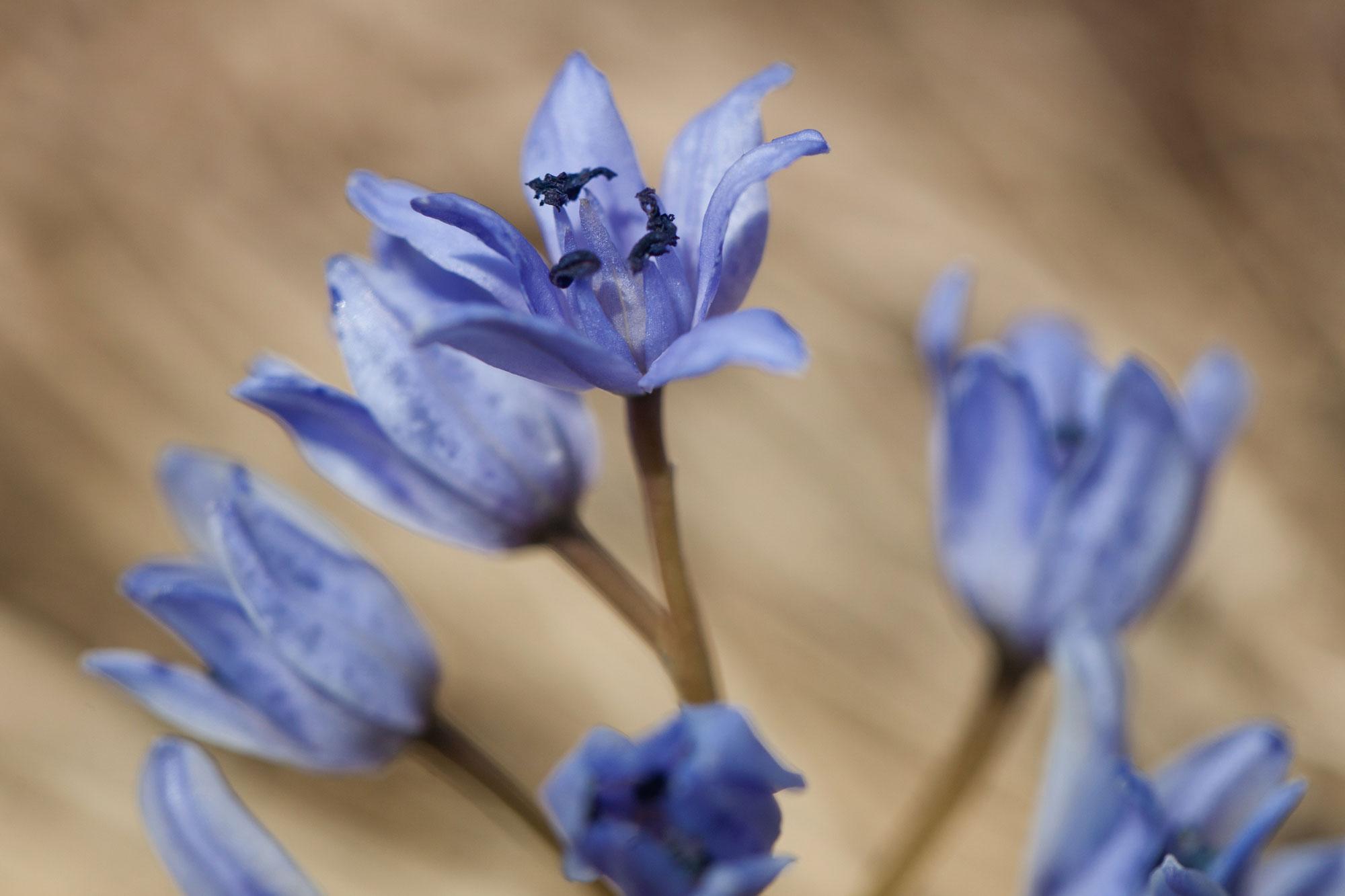 Flori - viorele in padurea cu vipera lui Nikolsky
