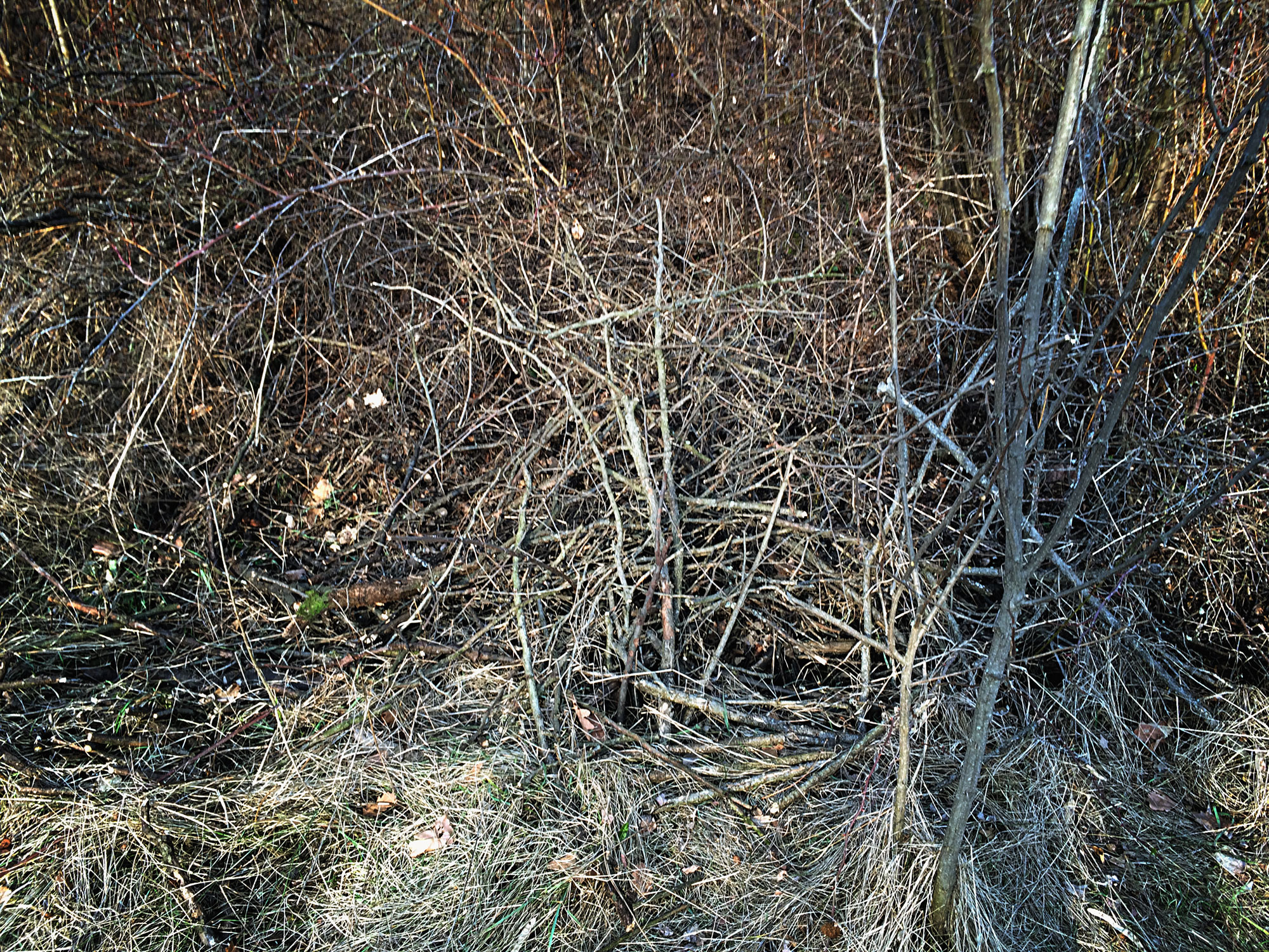 Morman de crengi - Habitat pentru vipera lui Nikolsky (Vipera berus nikolskii)