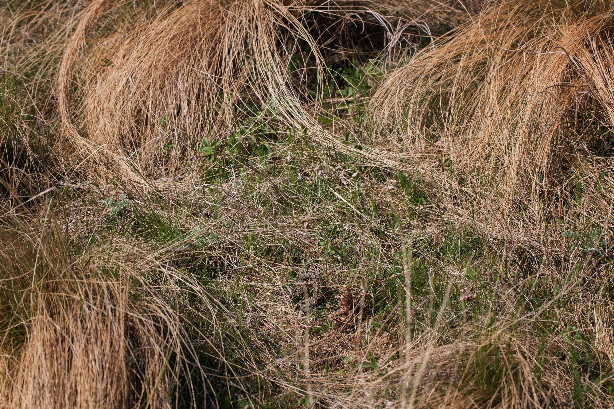 Vipera de faneata