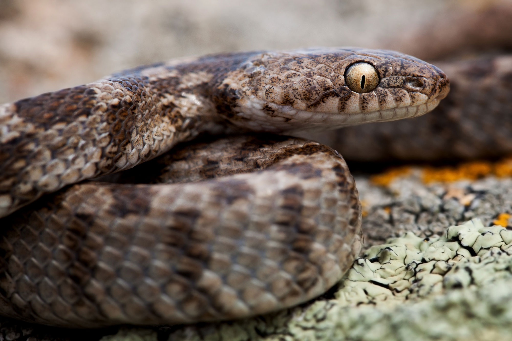 European cat snake (Telescopus fallax)