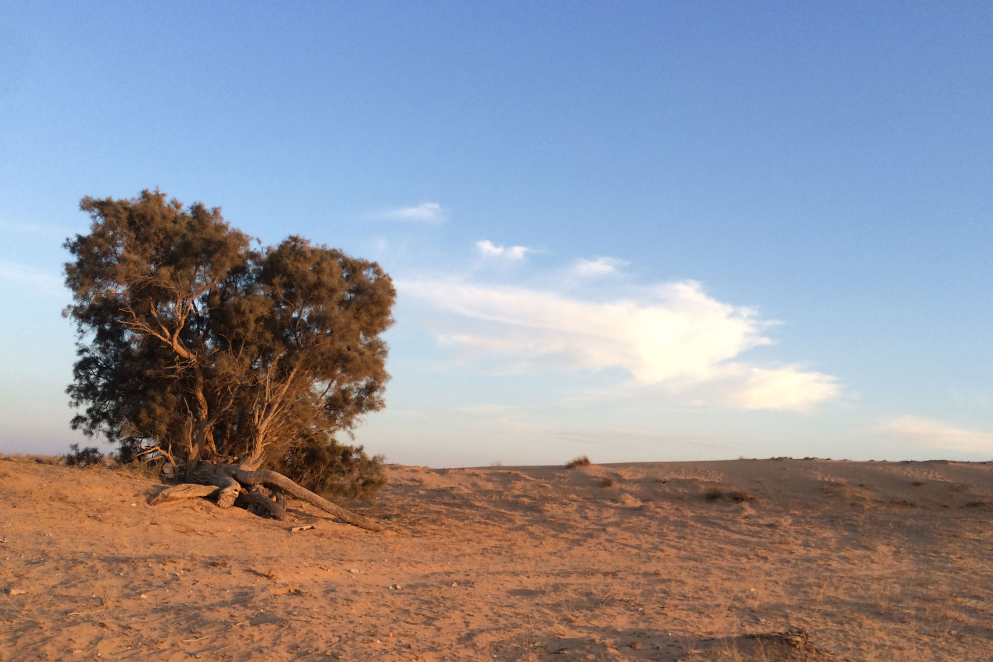 Copac in desertul Negev