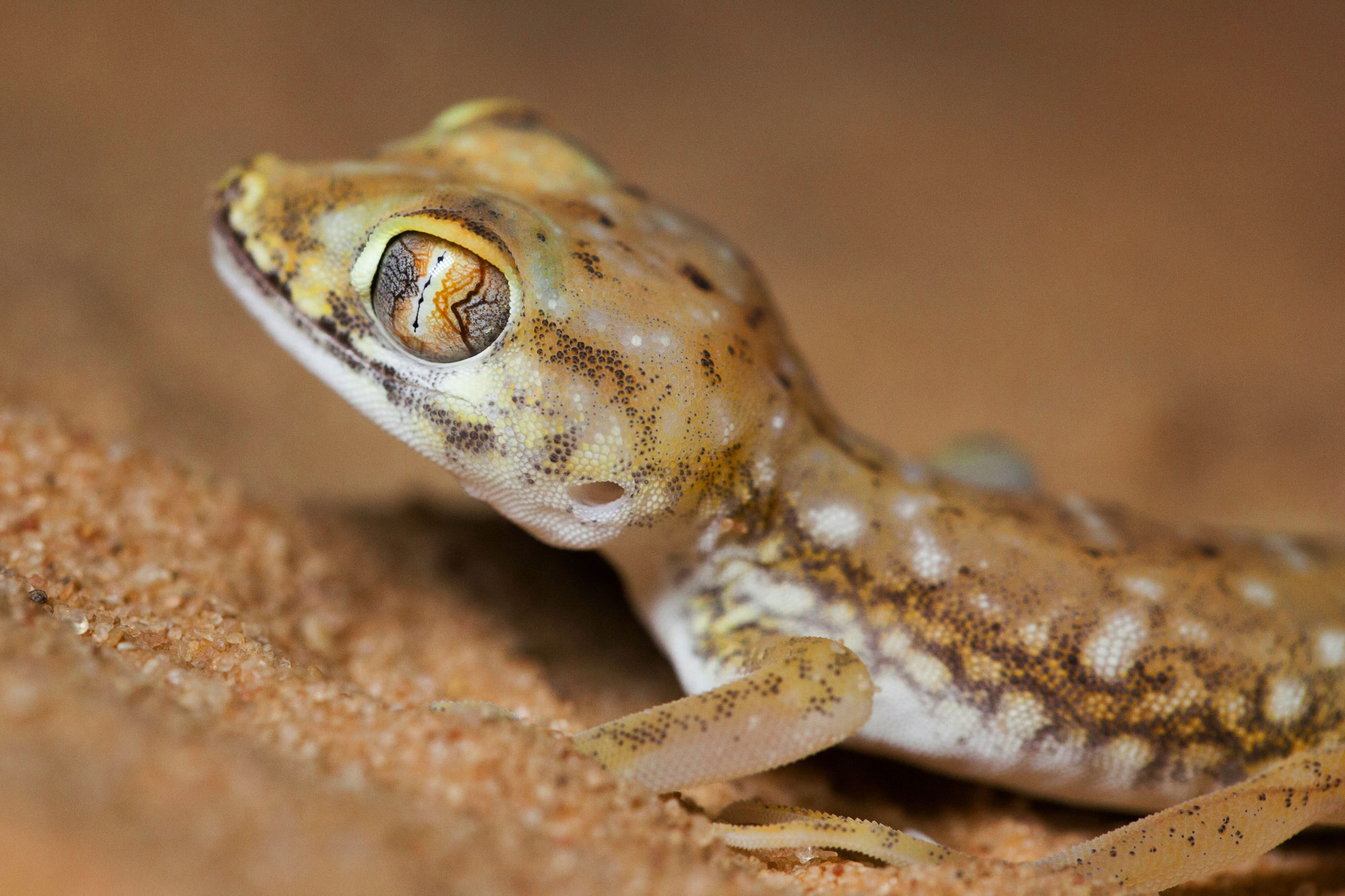 Stenodactylus petrii, geko din Desertul Negev
