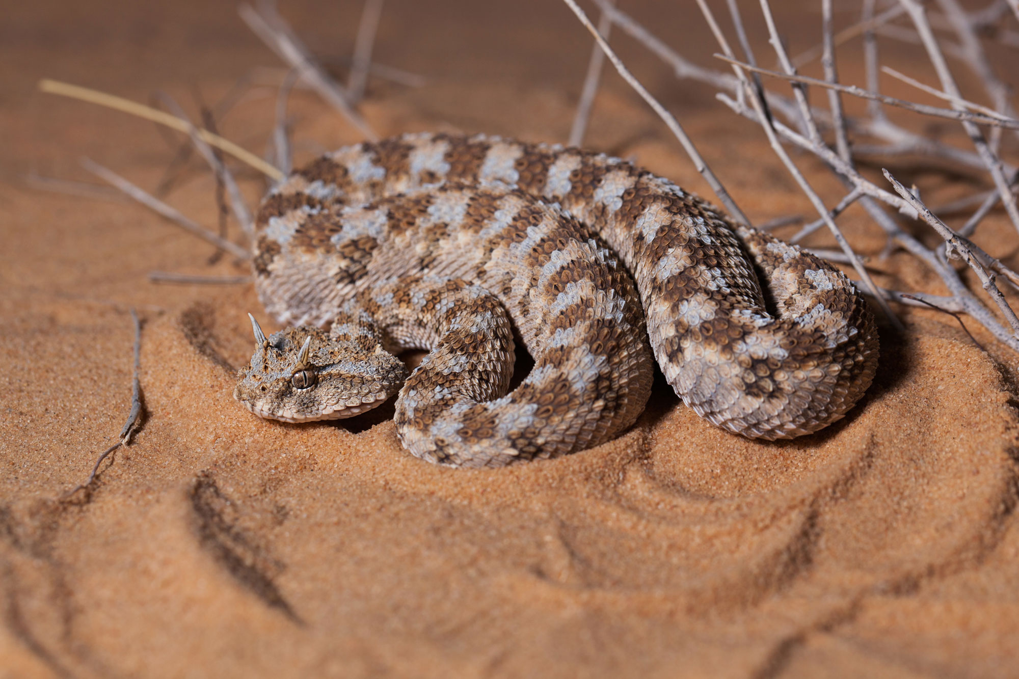 Cerastes cerastes, vipera din desertul Negev
