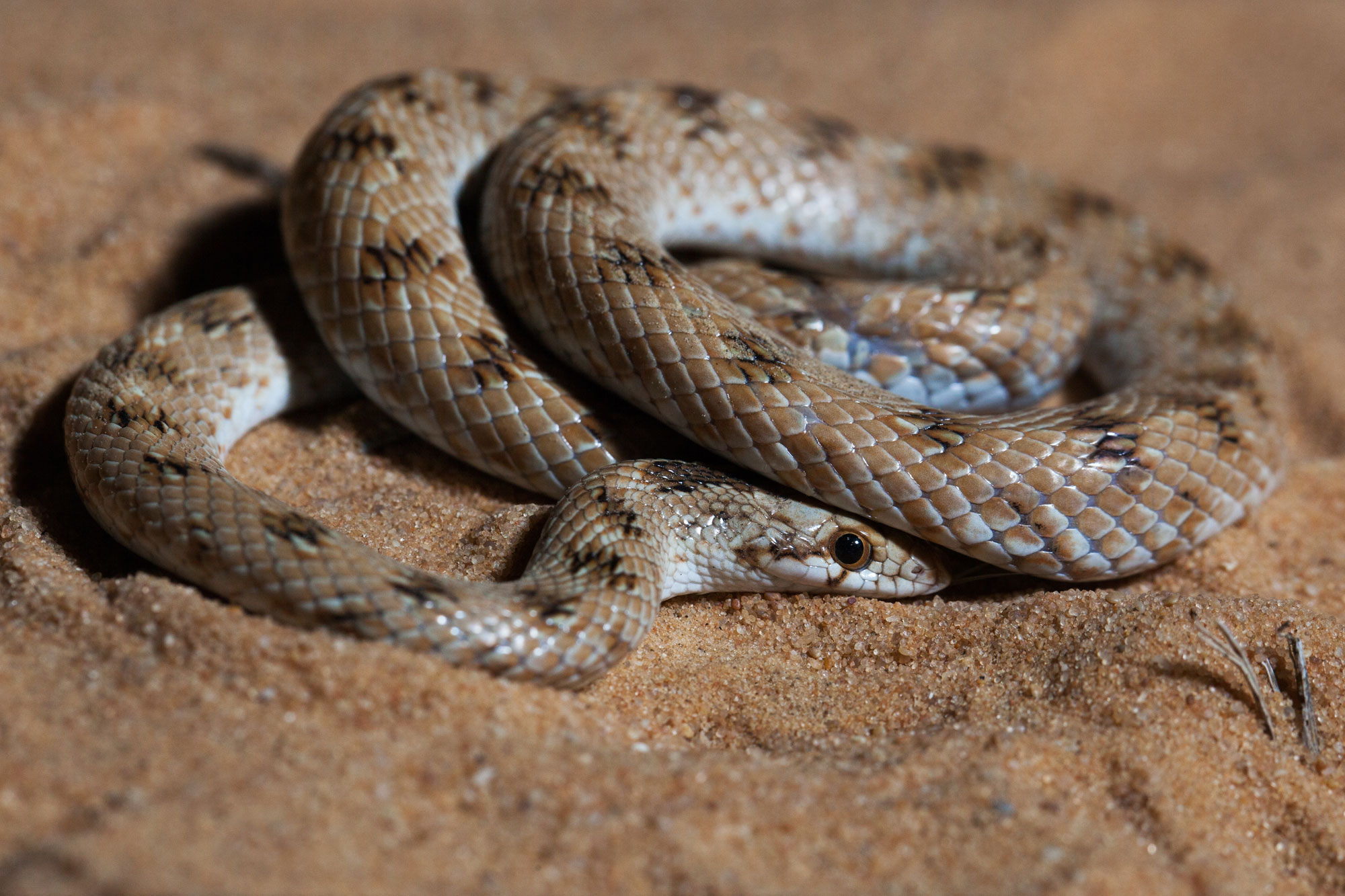 Lytorhynchus diadema, un sarpe inofensiv din Desertul Negev