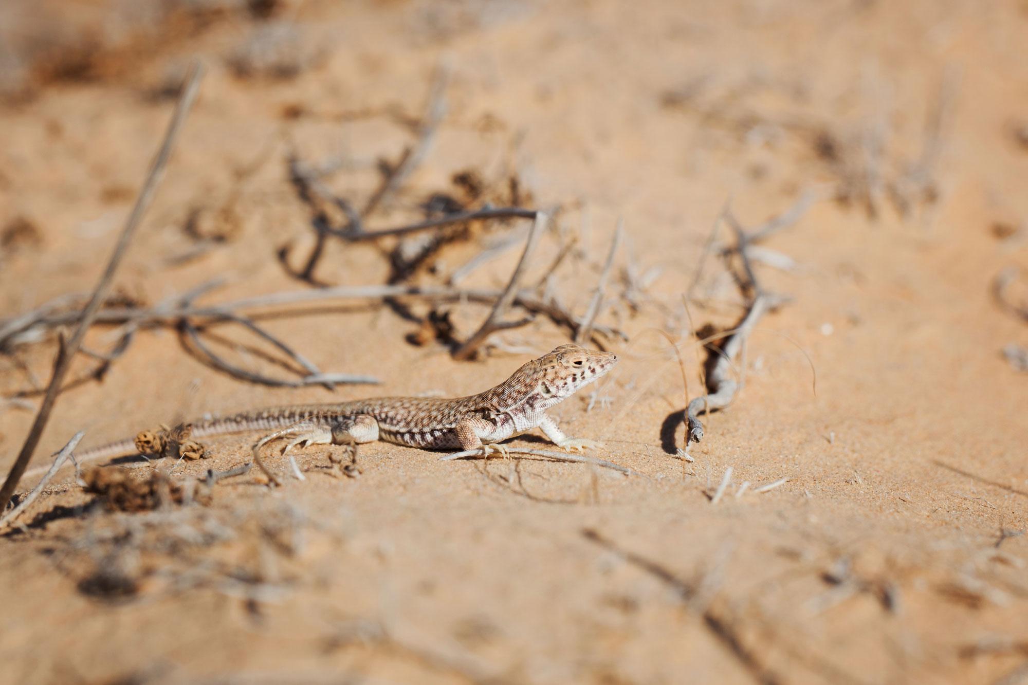 O soparla din genul Acanthodactylus