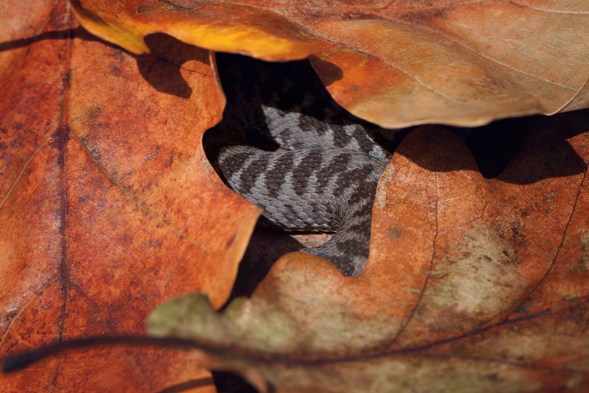 Vipera berus nikolskii fotografiata in septembrie