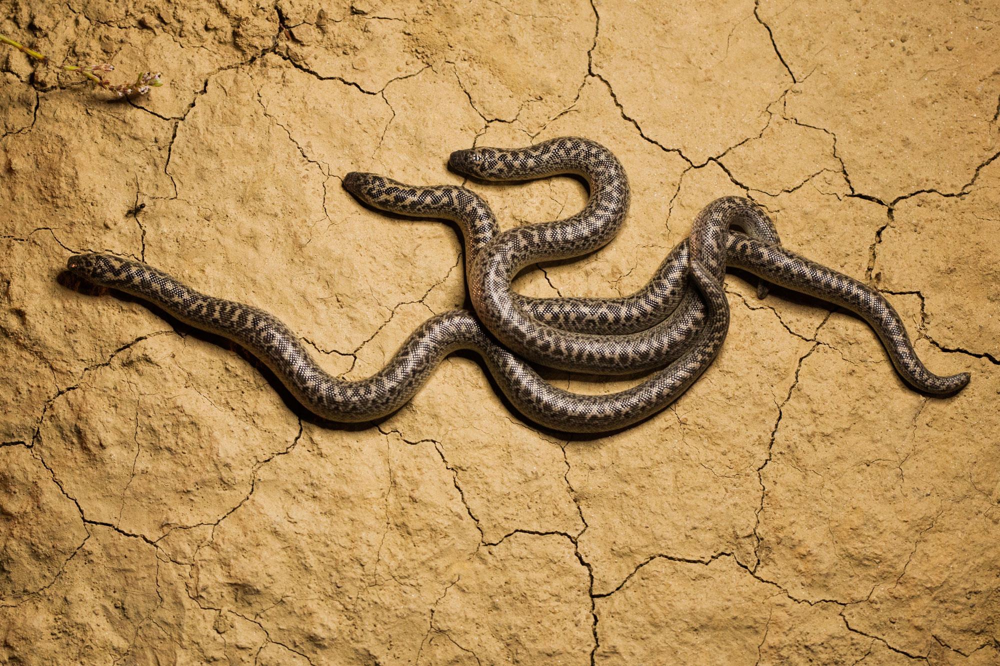 Boa de nisip (Eryx jaculus)