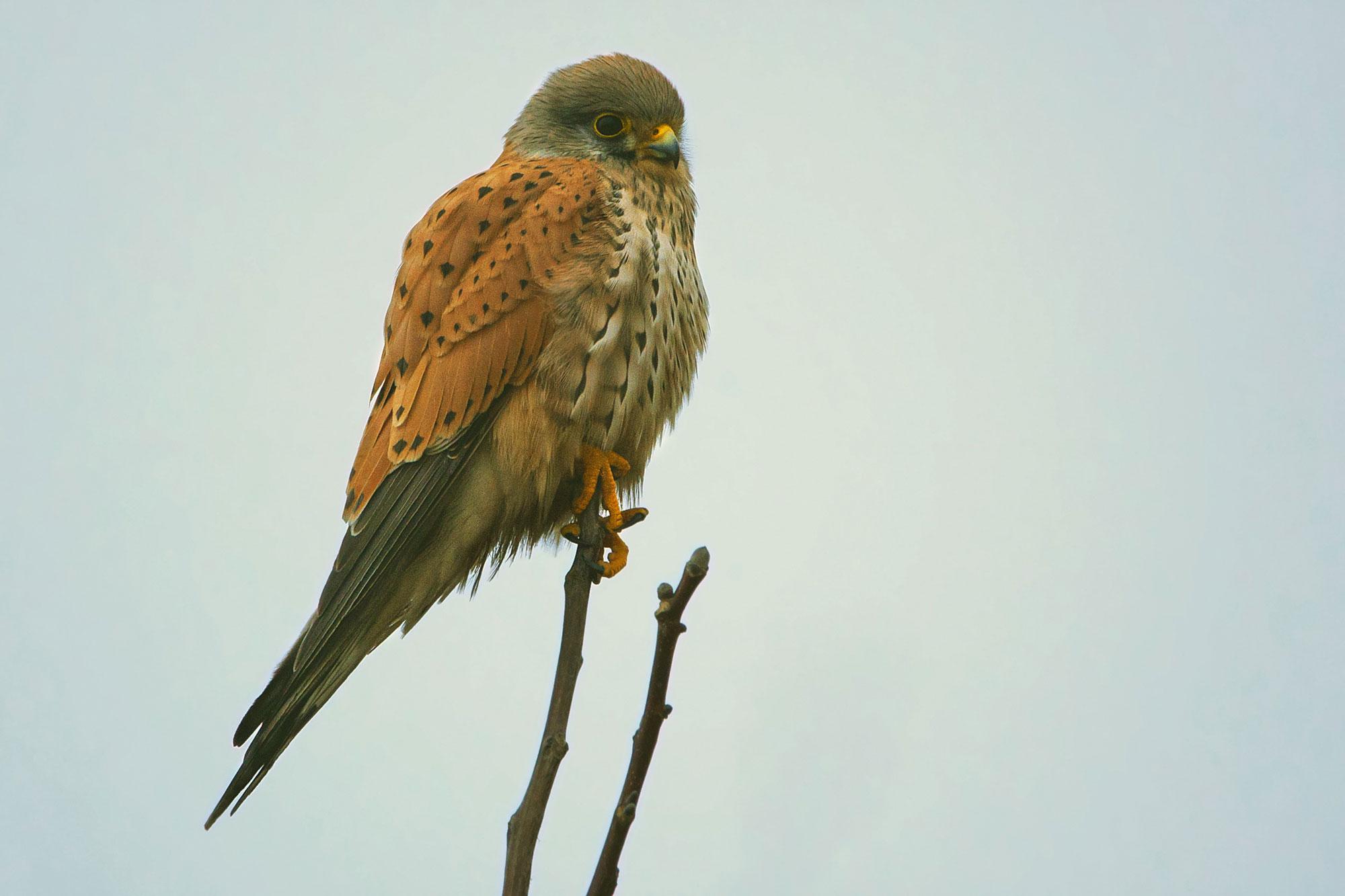 Vanturel Rosu (Falco tinnunculus)