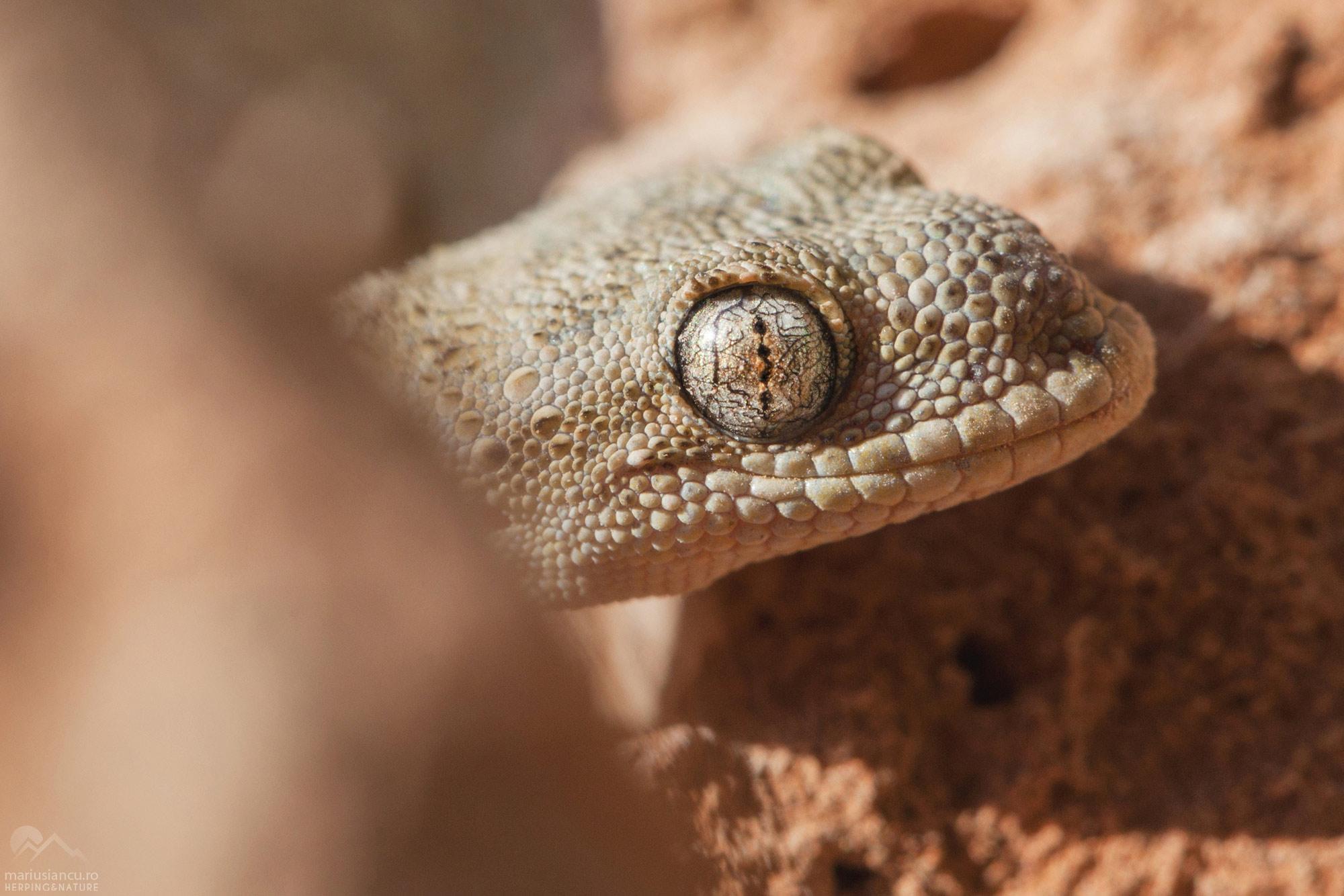 populatie de gecko descoperita in Bucuresti