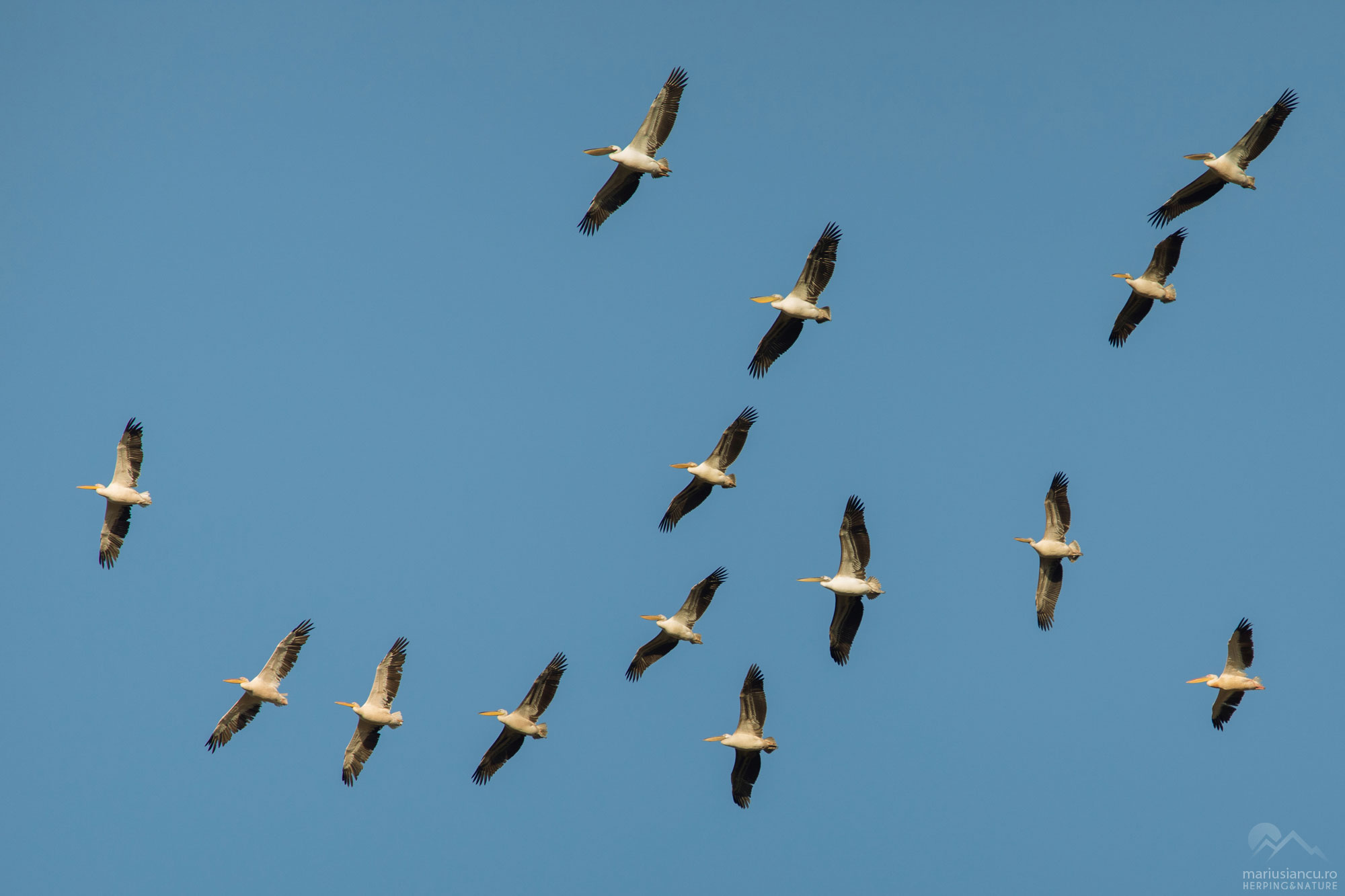 Pelicani comuni - Dobrogea