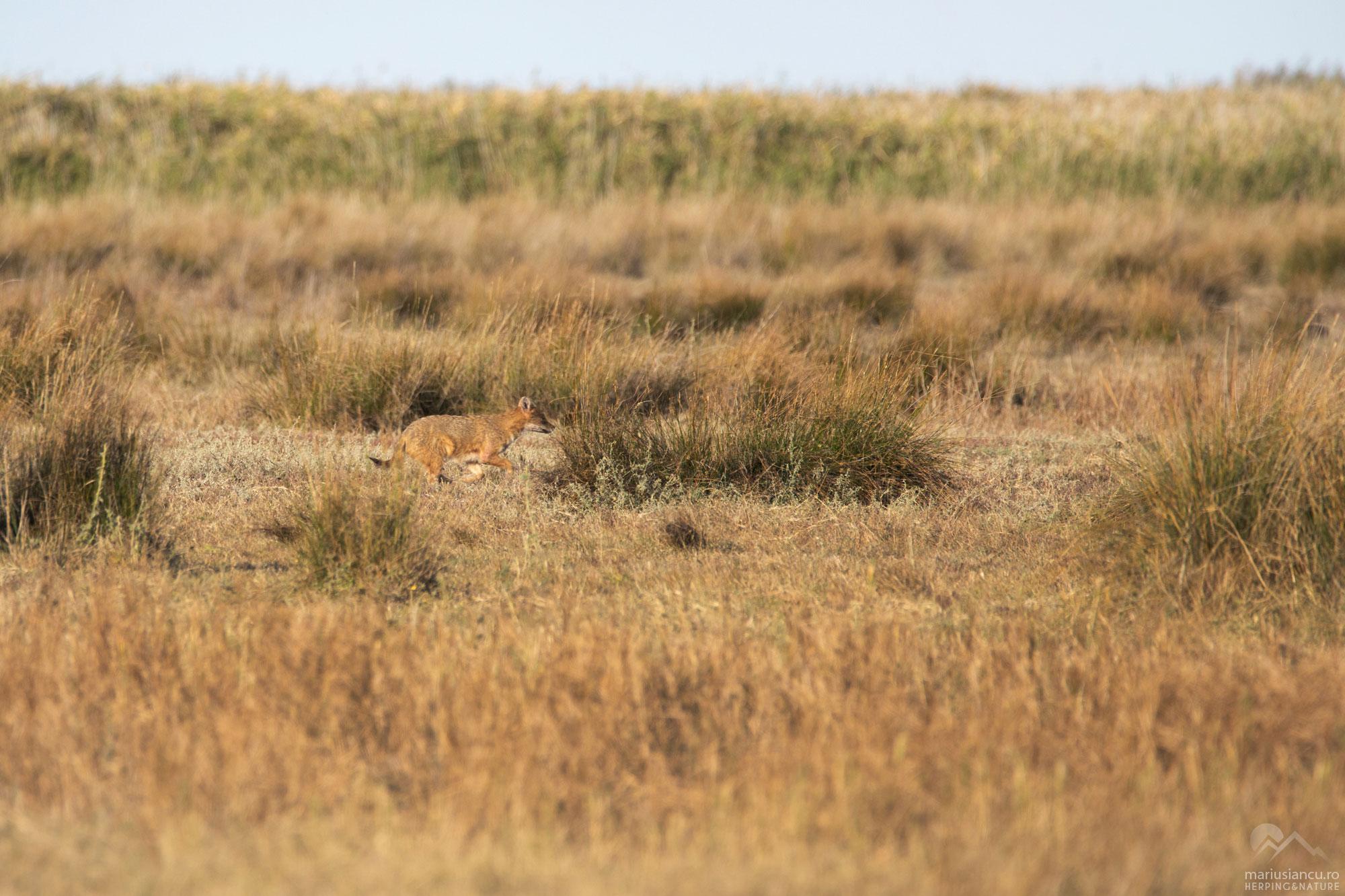 Sacal auriu (Canis aureus) - Dobrogea