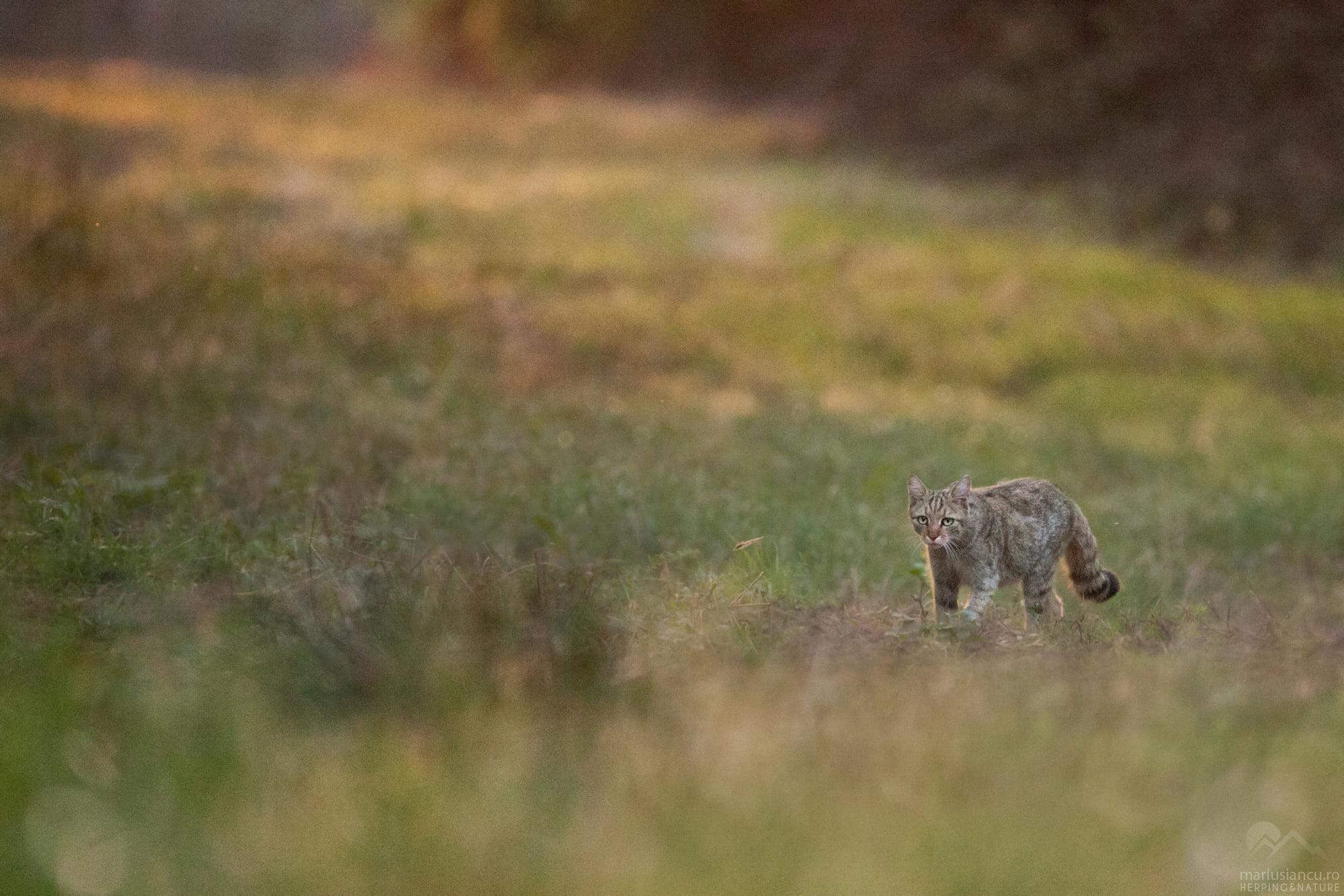 Pisică sălbatică fotografiată în poiana unde am stat la boncănitul cerbilor
