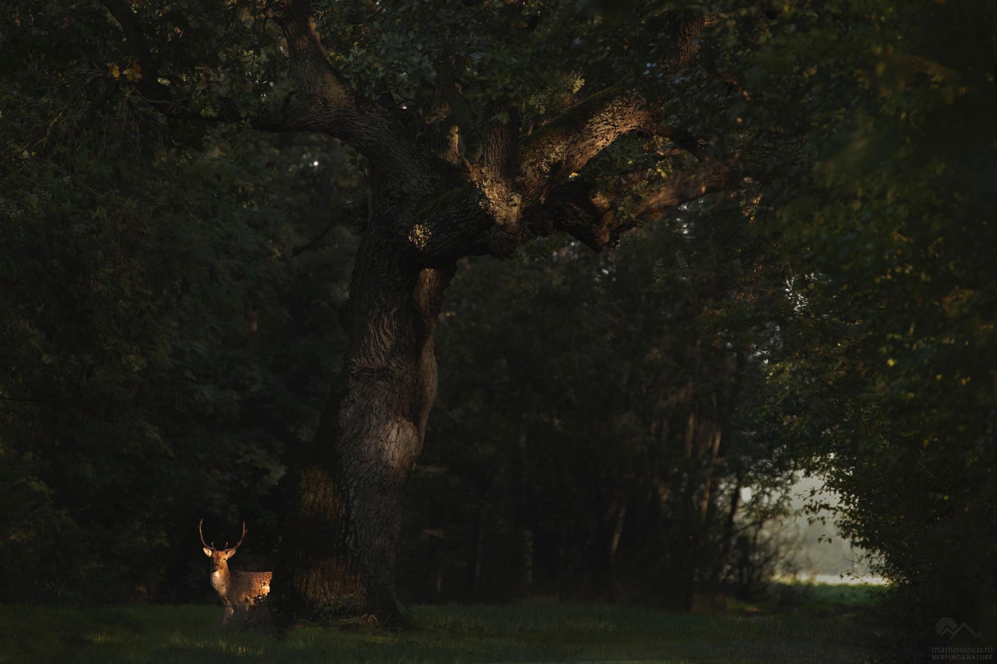Fotografie de la boncănitul cerbilor